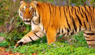China: tigre aterroriza al público al escapar de su jaula en circo