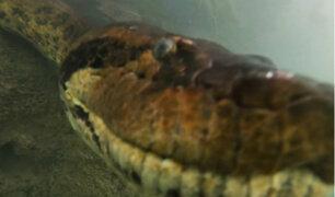 Brasil: buzos se topan con anaconda de 7 metros en río