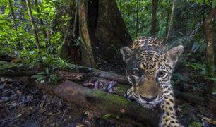 Bolivia: jaguar a punto de la extinción por incendios forestales