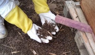Lambayeque: masiva muerte de abejas en Virú genera alarma entre apicultores
