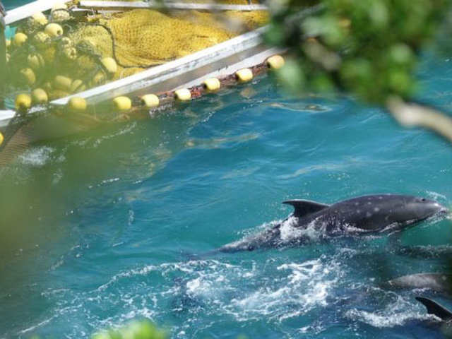 Pese a críticas, Japón vuelve a autorizar la caza de delfines