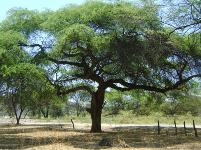 Lambayeque: pobladores se organizan para proteger el algarrobo
