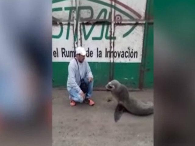 Áncash: lobo marino es captado buscando comida cerca a empresa pesquera