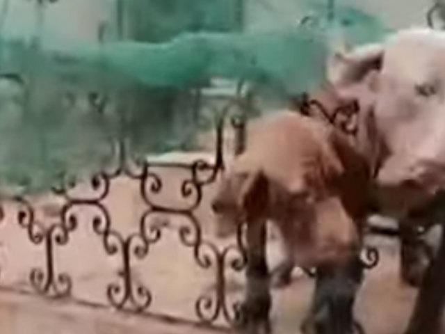 Surco: denuncian a vecina que maltrataba perros y serenos los rescatan