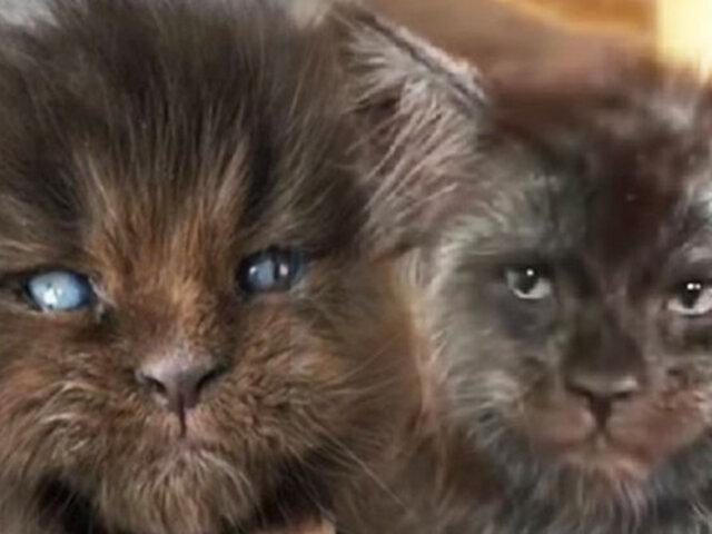 """Rusia: gatos con extraño parecido a """"hombres lobo"""" causan asombro"""