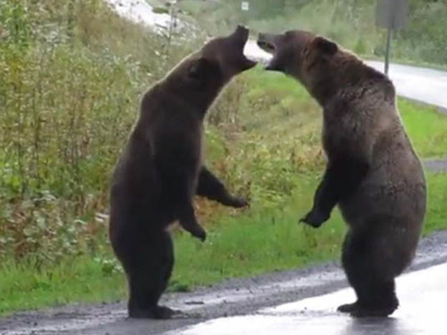 VIDEO: feroz pelea de osos se registró en una carretera de Canadá