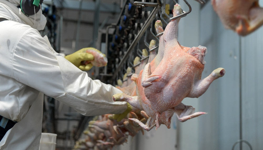 Perú prohibió ingreso de productos avícolas de Chile por gripe aviar