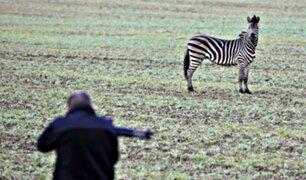 Alemania: cebra es asesinada a tiros tras escapar de circo