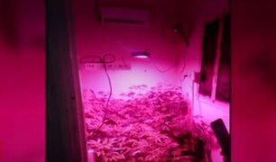 Callao: hallan más de 20 plantones de marihuana al interior de una vivienda