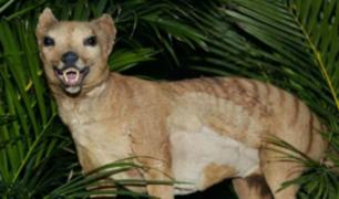 Tigre de Tasmania: reportan recientes avistamientos del animal extinto hace más de 80 años
