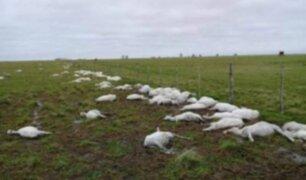 Argentina: mueren más de 3 mil ovejas por repentino cambio de clima