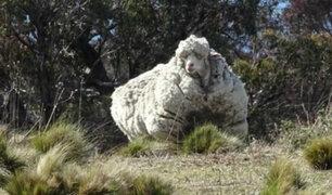 Australia: muere Chris, la oveja más lanuda del mundo