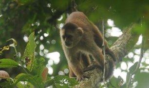 "Tumbes: ""mono machín"" ingresó a lista de especies en peligro"