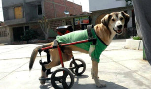 Chimbote: delincuentes se llevan silla de ruedas de perro con discapacidad