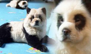 ¿Es un oso panda o un perro?: mascotas pintadas desatan marea de críticas