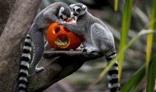 FOTOS: animales de zoológico celebran con calabazas Halloween