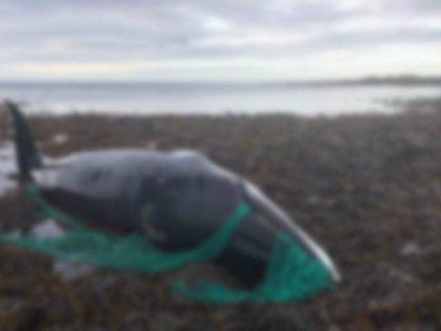 Ballena embarazada muere tras quedar atrapa en red de pesca