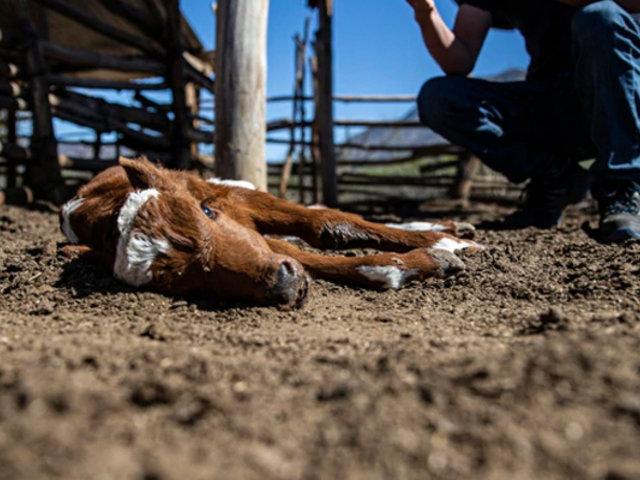 Más de 30 mil animales muertos, una de las consecuencias de la megasequía en Chile