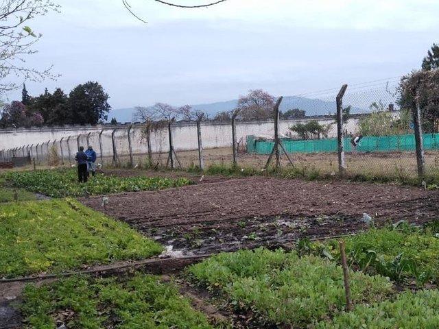 Granja en el penal: reos cosechan más de una tonelada de papa al mes
