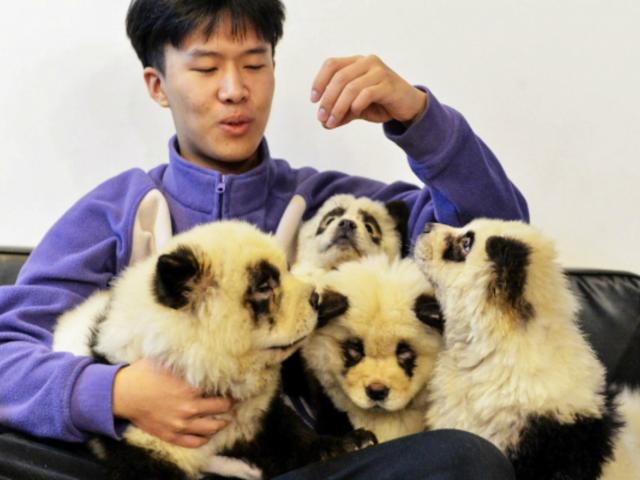 China: polémica por cafetería que tiñe a perros como osos panda