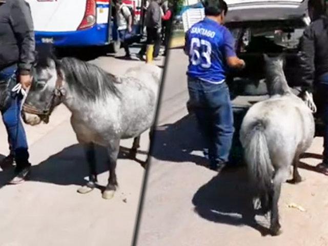 Cusco: poni viaja en taxi y se viraliza en las redes sociales