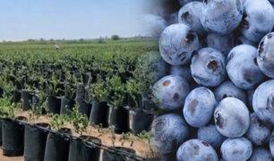 Ica: alumnos participaron de la siembra de siete hectáreas de arándanos para exportar a EEUU