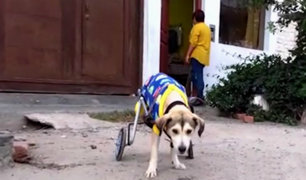 Donan silla de ruedas a perro víctima de delincuentes en Nuevo Chimbote