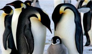 Pingüinos emperador al borde de la extinción, según estudio