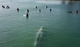 EEUU: ballena sorprendió a surfistas en playa de California