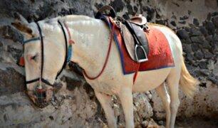 Maltrato animal: burros son usados para transportar turistas con sobrepeso