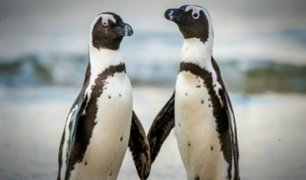 Una pareja de pingüinos del mismo sexo roba huevo para ''poder ser padres''