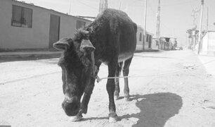 Pasco: cuatro burros mueren atropellados por una camioneta