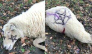 Apuñalan a ovejas como parte de ''ritual satánico''