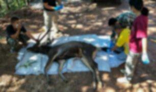 Hallan ciervo muerto con siete kilos de basura en el estómago