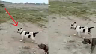 Ica: niño con autismo muere tras ser atacado por su mascota, un perro pitbull