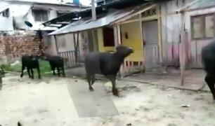 Loreto: búfalos sembraron miedo por calles del distrito de San Juan