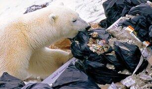 Rusia: osos polares se ven obligados a comer plástico, según estudio
