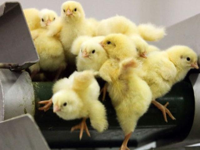 Suiza prohíbe triturar pollitos vivos, una práctica legal en la Unión Europea