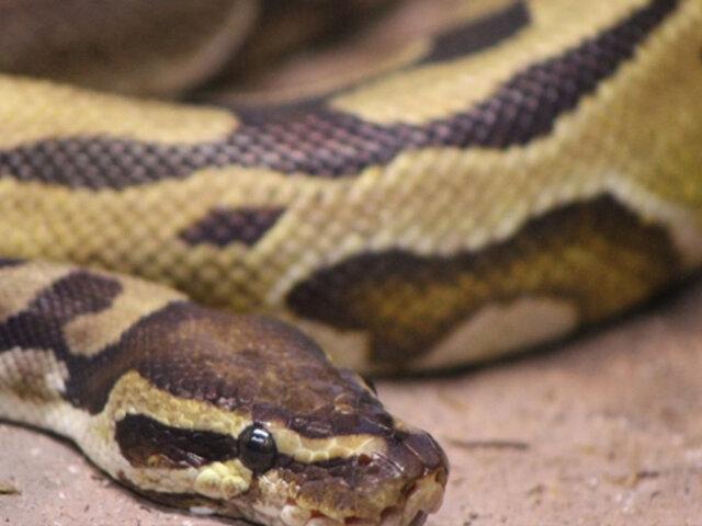 ¡Qué susto! Hallan serpiente de tres metros en estante de supermercado en Australia