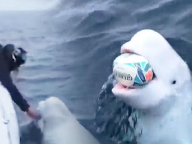 Ballena beluga que juega al rugby en mitad del océano causa asombro