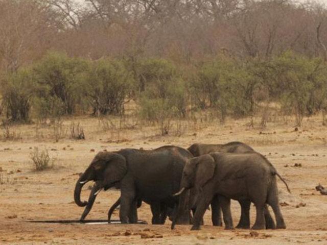 África: al menos 200 elefantes han muerto de hambre por grave sequía