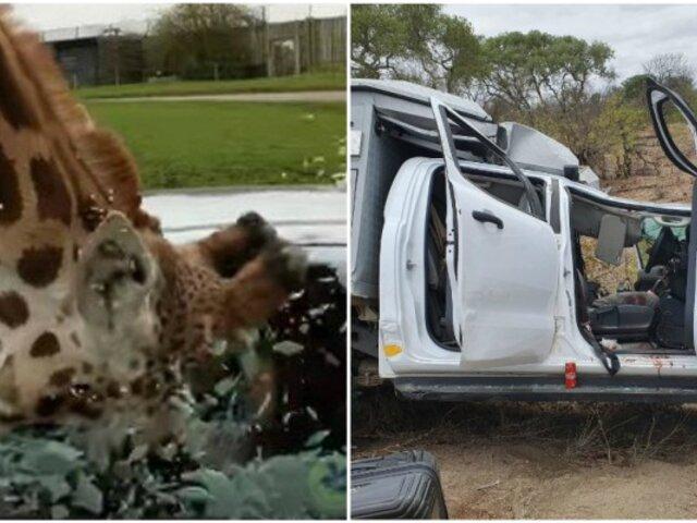 Hombre queda gravemente herido tras ser aplastado por jirafa