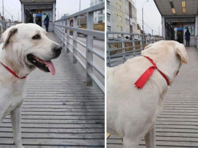 Perro espera a su amo todos los días en concurrida estación del Metropolitano