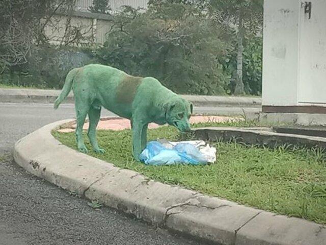 Encuentran a un perro desconsolado buscando comida con el cuerpo pintado de verde