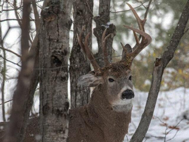 ¡Insólito! Hombre halló un ciervo de tres cuernos cuando paseaba por bosque de EEUU