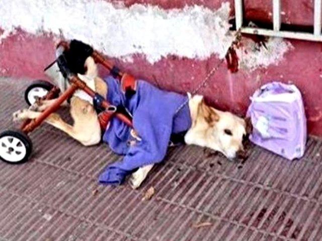 La conmovedora historia de la perrita en silla de ruedas que fue abandonada en la calle