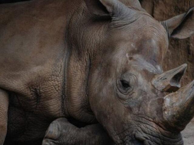 Malasia: muere el último rinoceronte de Sumatra y la especie se extingue en el país
