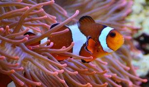 Pez payaso en peligro de extinción por cambio climático