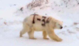 Rusia: misterioso mensaje pintado sobre un oso polar alarma a los científicos