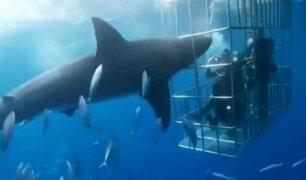 México: tiburón blanco murió desangrado en jaula de observación